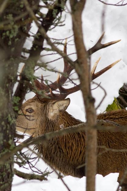 cervol 2