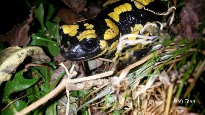 salamandra 2b